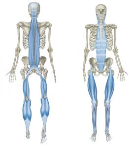 Znalezione obrazy dla zapytania taśma mięśniowa tylna
